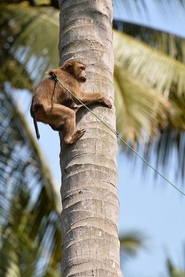 Chú khỉ giúp chủ hái 1000 quả dừa mỗi ngày - 1
