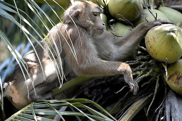 Chú khỉ giúp chủ hái 1000 quả dừa mỗi ngày - 2