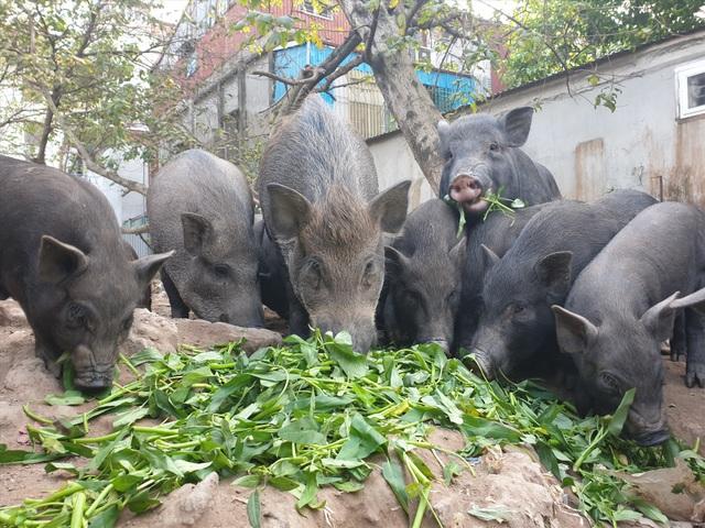 Ứng phó dịch Covid-19, dân Thủ đô rủ nhau nuôi lợn mán - 1