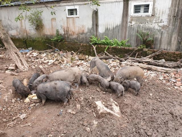 Ứng phó dịch Covid-19, dân Thủ đô rủ nhau nuôi lợn mán - 2