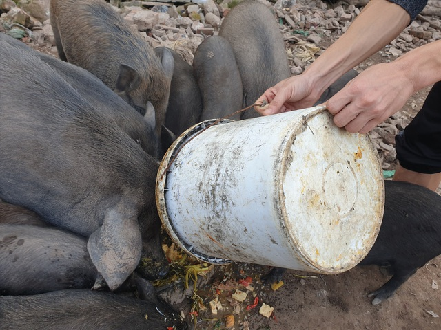Ứng phó dịch Covid-19, dân Thủ đô rủ nhau nuôi lợn mán - 5