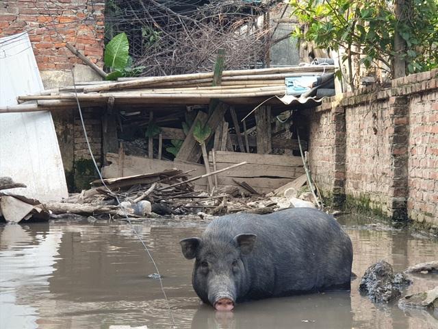 Ứng phó dịch Covid-19, dân Thủ đô rủ nhau nuôi lợn mán - 7