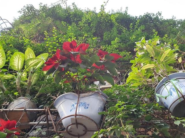 Nhà cây 5 tầng phủ kín hoa giấy ở Hà Nội, ai đi qua cũng dừng lại ngắm - 10