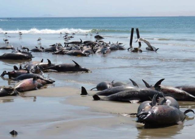 """Cá heo chết """"tập thể"""" đầy bí ẩn, nằm la liệt trên bãi biển - 1"""