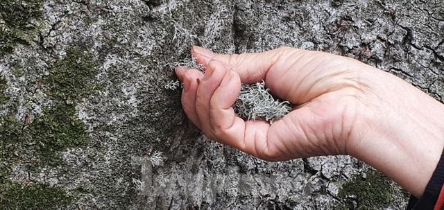 Trầm trồ vẻ đẹp 5 gốc gạo cổ thụ độc đáo ở Đồ Sơn - 13