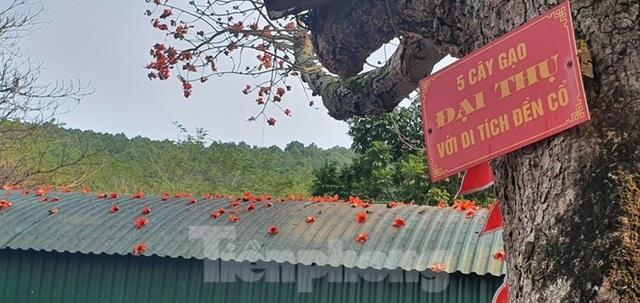 Trầm trồ vẻ đẹp 5 gốc gạo cổ thụ độc đáo ở Đồ Sơn - 3