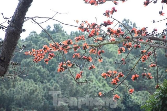 Trầm trồ vẻ đẹp 5 gốc gạo cổ thụ độc đáo ở Đồ Sơn - 7