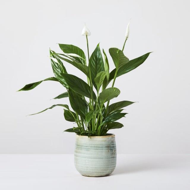 Trồng ngay 5 loại cây này trong nhà, vừa hút khí độc vừa làm đẹp không gian - 4