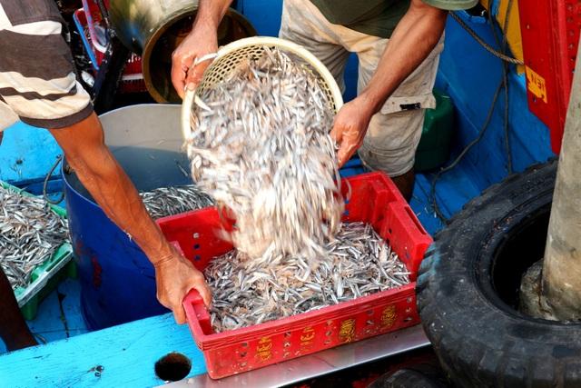 Ngư dân Quảng Nam được mùa cá cơm - 3