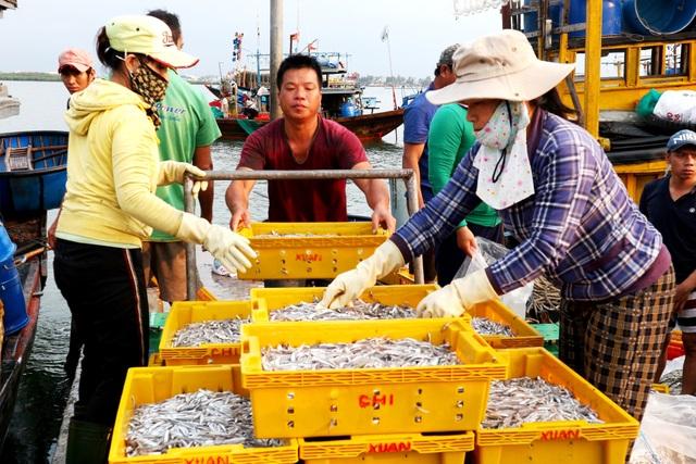 Ngư dân Quảng Nam được mùa cá cơm - 5