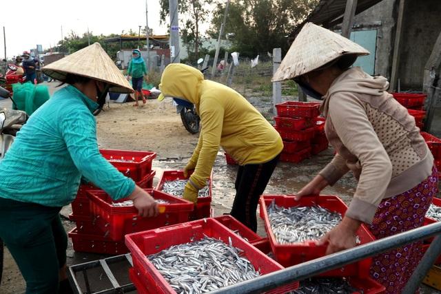 Ngư dân Quảng Nam được mùa cá cơm - 9