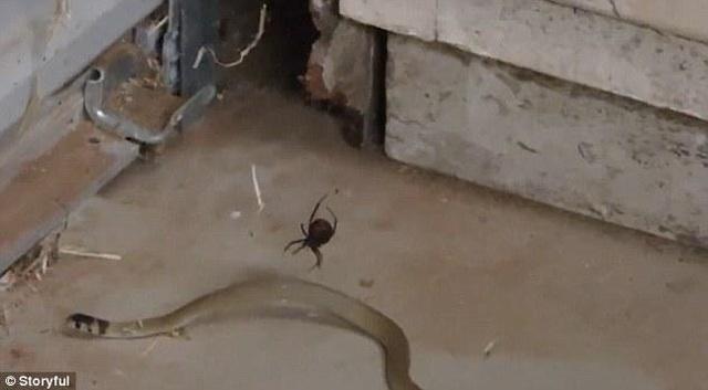 Hiếm hoi cảnh rắn vẫy vùng không thoát khỏi lưới nhện - 1
