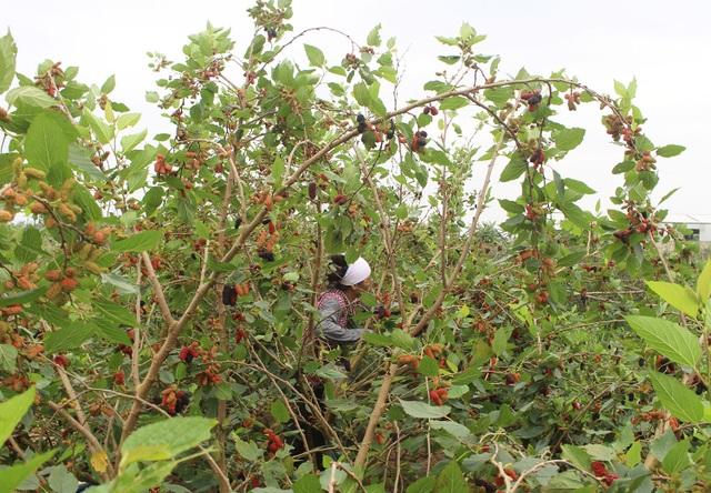 Chiêm ngưỡng vườn dâu tằm siêu to khổng lồ ở Hà Nội - 4