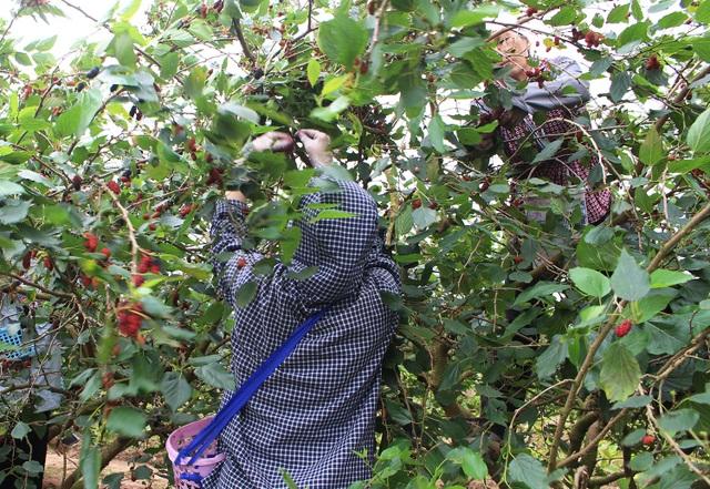 Chiêm ngưỡng vườn dâu tằm siêu to khổng lồ ở Hà Nội - 5