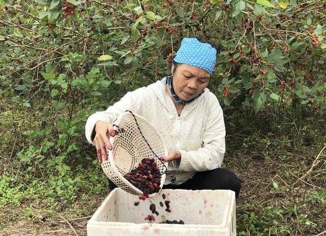 Chiêm ngưỡng vườn dâu tằm siêu to khổng lồ ở Hà Nội - 7