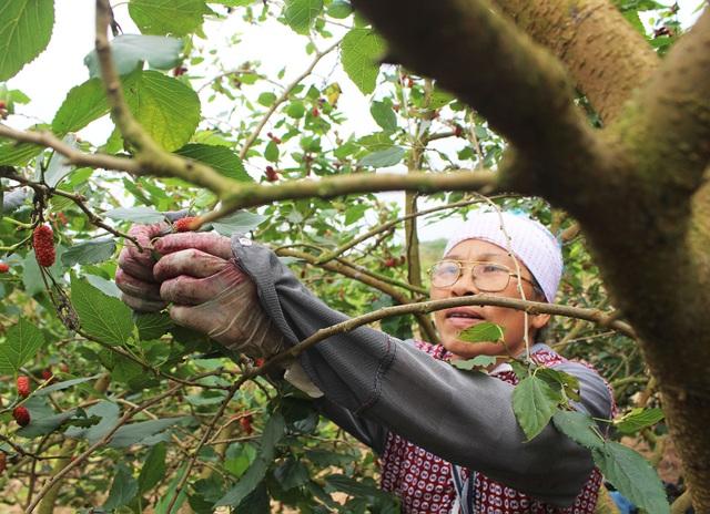 Chiêm ngưỡng vườn dâu tằm siêu to khổng lồ ở Hà Nội - 6