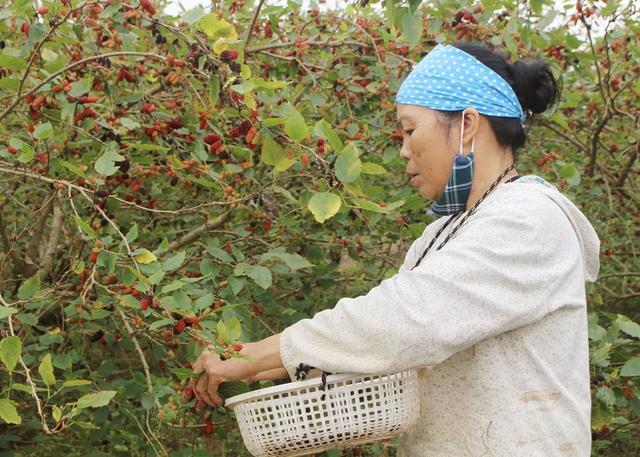 Chiêm ngưỡng vườn dâu tằm siêu to khổng lồ ở Hà Nội - 2
