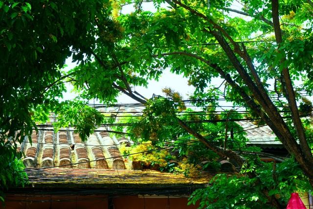 Hoa sưa nở vàng rực phố cổ giữa mùa dịch Covid-19 - 10