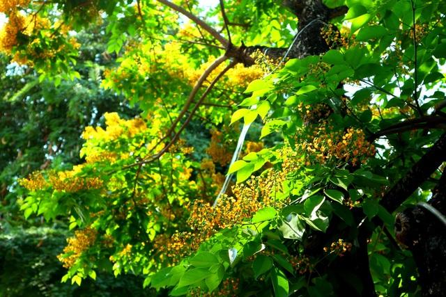 Hoa sưa nở vàng rực phố cổ giữa mùa dịch Covid-19 - 4