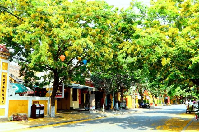 Hoa sưa nở vàng rực phố cổ giữa mùa dịch Covid-19 - 6