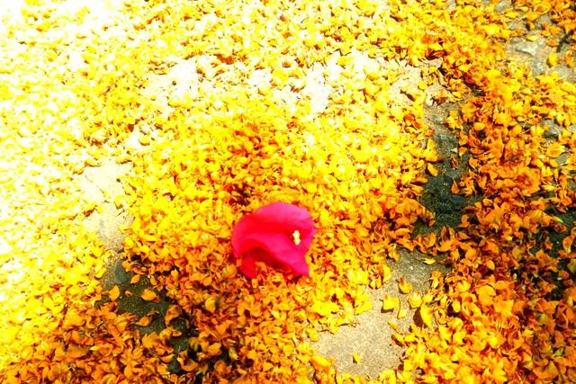 Hoa sưa nở vàng rực phố cổ giữa mùa dịch Covid-19 - 9