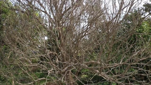 Hạn mặn khốc liệt, tìm cách cứu vườn sầu riêng của người dân - 1