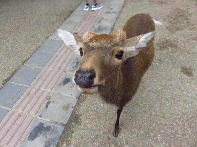 Hươu nai đói kém giữa mùa dịch tràn vào khu dân cư để xin ăn - 3