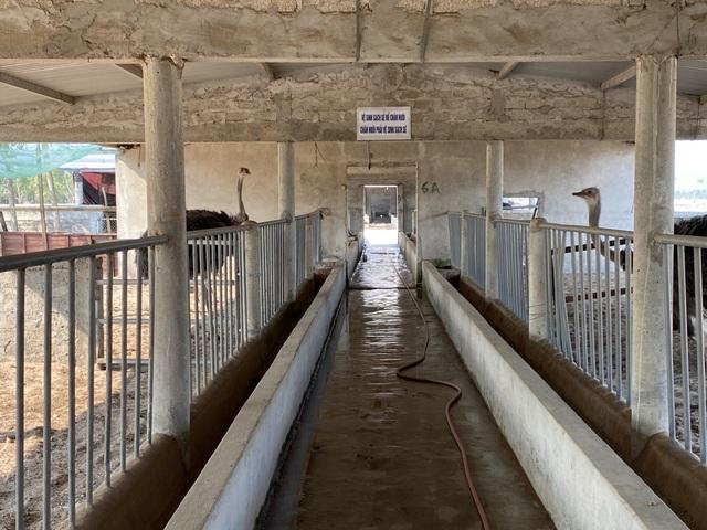 Lão nông thu gần 3 tỷ đồng/năm từ trại đà điểu độc nhất miền cát - 2