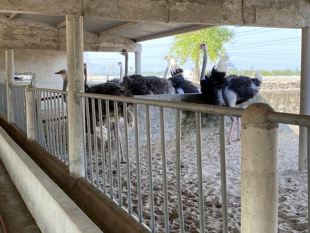 Lão nông thu gần 3 tỷ đồng/năm từ trại đà điểu độc nhất miền cát - 3