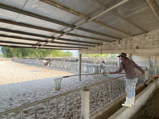 Lão nông thu gần 3 tỷ đồng/năm từ trại đà điểu độc nhất miền cát - 10