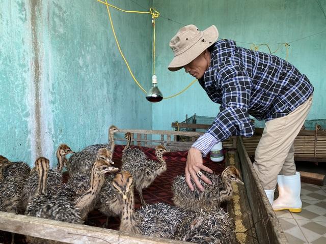 Lão nông thu gần 3 tỷ đồng/năm từ trại đà điểu độc nhất miền cát - 9