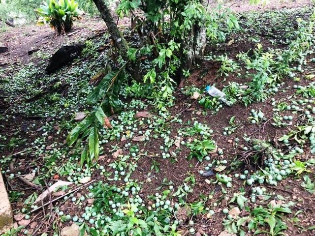 Mưa đá kèm giông lốc gây thiệt hại nhà cửa, hoa màu - 2