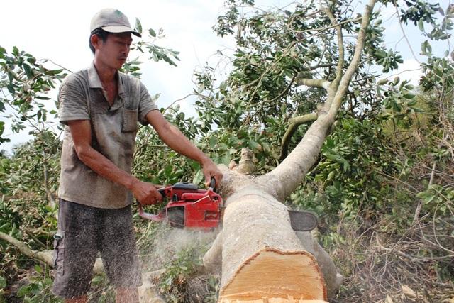 Nông dân ngậm ngùi chặt bỏ vườn cây trăm triệu - 2