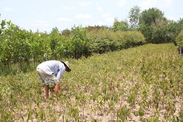 Nông dân ngậm ngùi chặt bỏ vườn cây trăm triệu - 1