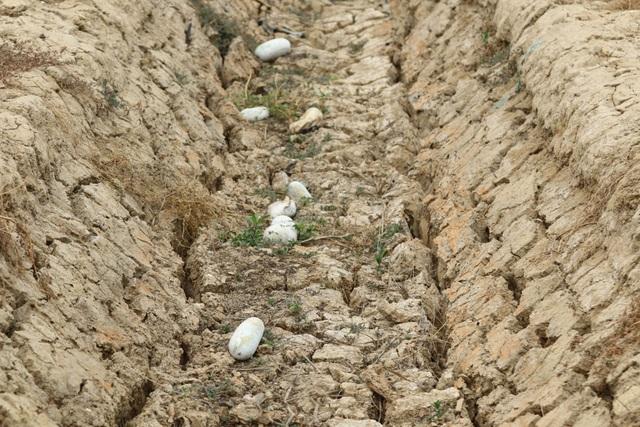 Ruộng đồng chết khô, miền Tây quay quắt trong cơn hạn, mặn - 5