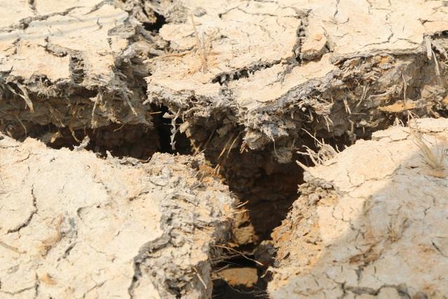 Ruộng đồng chết khô, miền Tây quay quắt trong cơn hạn, mặn - 1