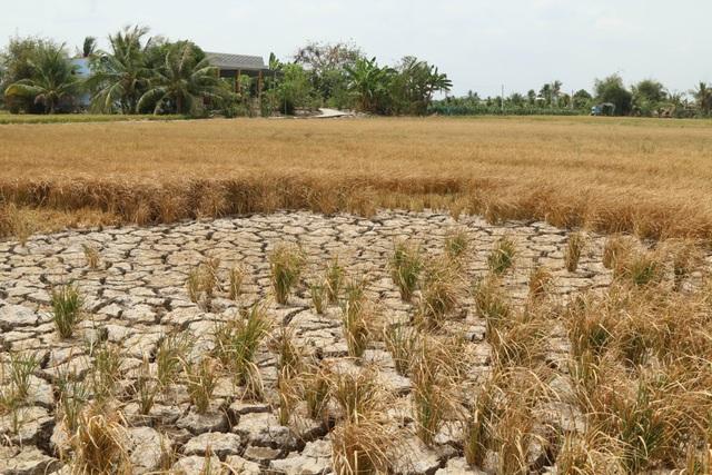 Ruộng đồng chết khô, miền Tây quay quắt trong cơn hạn, mặn - 4