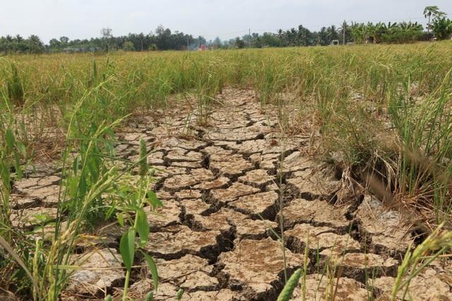 Ruộng đồng chết khô, miền Tây quay quắt trong cơn hạn, mặn - 3