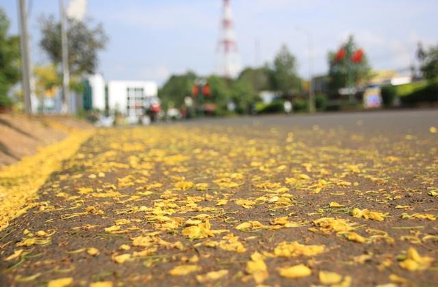 Thành phố trẻ nhất Tây Nguyên rực rỡ sắc vàng của hoa osaka - 6