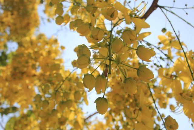 Thành phố trẻ nhất Tây Nguyên rực rỡ sắc vàng của hoa osaka - 3