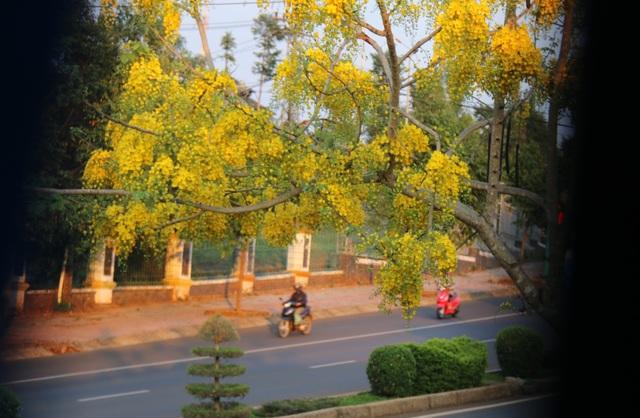 Thành phố trẻ nhất Tây Nguyên rực rỡ sắc vàng của hoa osaka - 5