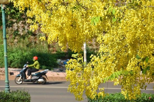 Thành phố trẻ nhất Tây Nguyên rực rỡ sắc vàng của hoa osaka - 8