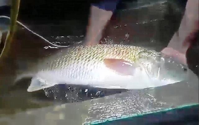 Bắt được cá nghi sủ vàng quý hiếm nặng hơn 5kg - 1