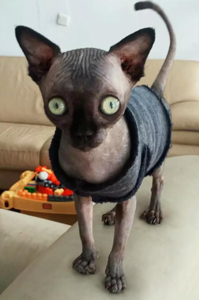 Lạ mắt với cô mèo dơi khiến cư dân mạng phát cuồng - 2