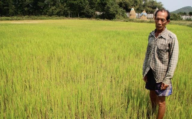 """Đồng ruộng bỏ hoang, lúa """"tắc"""" đòng vì khô hạn - 2"""