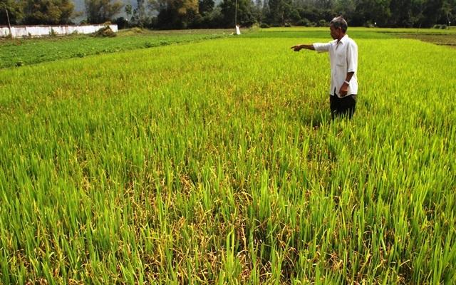 """Đồng ruộng bỏ hoang, lúa """"tắc"""" đòng vì khô hạn - 4"""