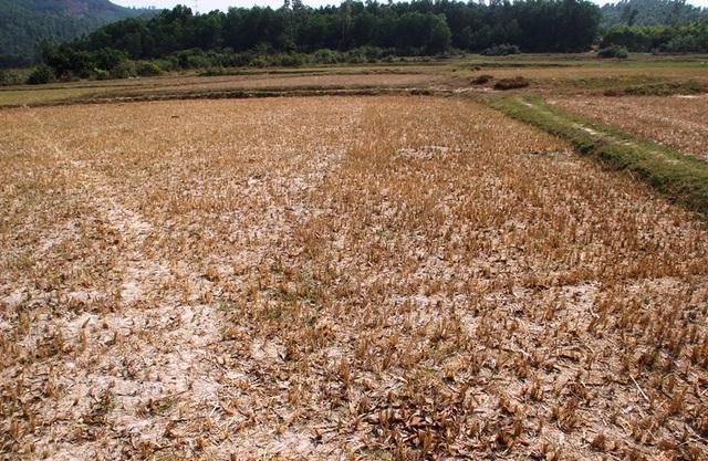 """Đồng ruộng bỏ hoang, lúa """"tắc"""" đòng vì khô hạn - 3"""