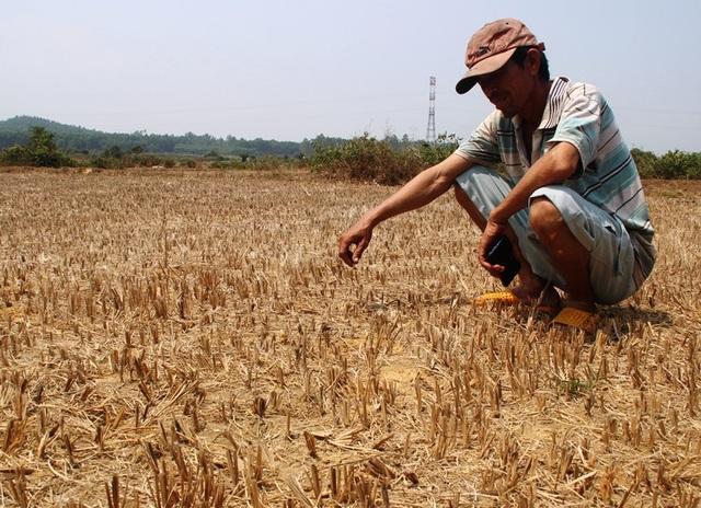 """Đồng ruộng bỏ hoang, lúa """"tắc"""" đòng vì khô hạn - 1"""
