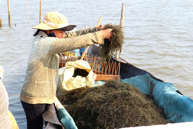 Ngư dân Quảng Nam được mùa rong câu - 1