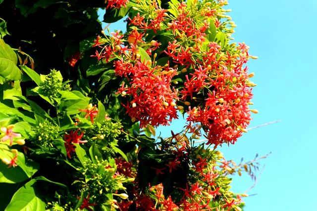 Hoa giấy rực rỡ phố cổ Hội An giữa mùa dịch Covid-19 - 15